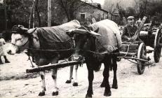 Helmut Schmell mit seinem Ochsengespann  Der Ackerwagen wurde zum Holzholen umgebaut