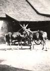 Junge Fohlen im Hof von Rudolf Hoffmann