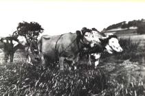 Peter Gebhard beim Grasmaehen mit seinem Kuhgespann