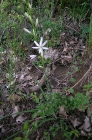 ästige Graslilie (Anthericum ramosum)