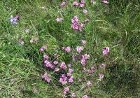 Karthäuser Nelke (Dianthus carthusianorum)