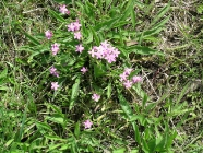 Tausendgäldenkraut (Centaurium pulchellum)